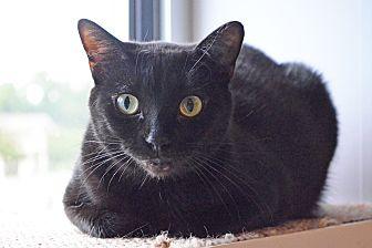 Domestic Shorthair Cat for adoption in Lincoln, Nebraska - Sundance