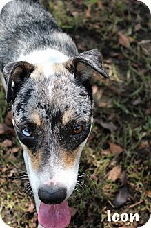 Australian Cattle Dog Mix Dog for adoption in Texarkana, Arkansas - Icon