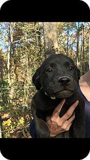 Labrador Retriever Mix Puppy for adoption in Boston, Massachusetts - Lily