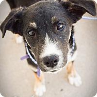 Adopt A Pet :: Ducky - DFW, TX