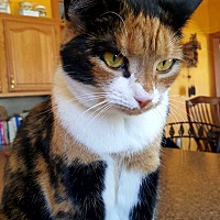 Domestic Shorthair Cat for adoption in Lambertville, New Jersey - PJ