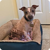 Adopt A Pet :: Mortie (New England) - Gilford, NH