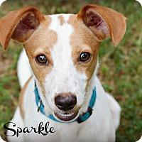 Adopt A Pet :: Sparkle - Glastonbury, CT