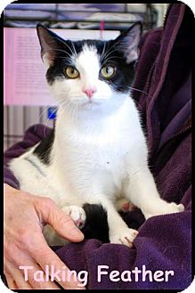 Domestic Shorthair Kitten for adoption in Merrifield, Virginia - Talking Feather