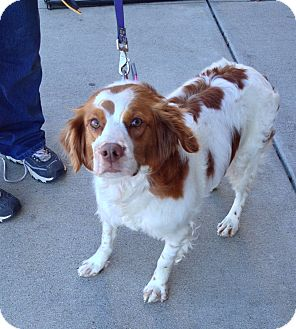 Brittany Dog for adoption in Hohenwald, Tennessee - Holly