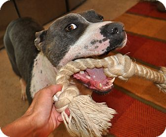 American Pit Bull Terrier/Pit Bull Terrier Mix Dog for adoption in Valley Springs, California - Sadie