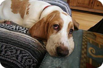 Basset Hound Dog for adoption in Canoga Park, California - Finn