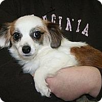 Adopt A Pet :: Abbey - Alexandria, VA