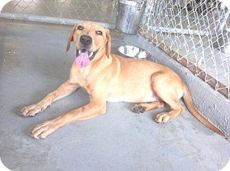 Labrador Retriever Mix Dog for adoption in Livingston Parish, Louisiana - Sunrise