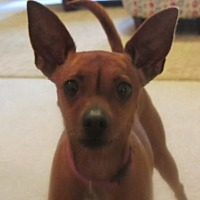 Adopt A Pet :: Cherilee - Decatur, GA