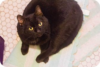 Domestic Shorthair Cat for adoption in Morgantown, West Virginia - Hopscotch
