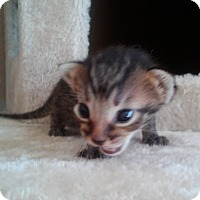 Adopt A Pet :: Howard - San Bernardino, CA
