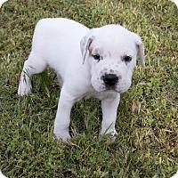 Adopt A Pet :: Jack - oklahoma city, OK