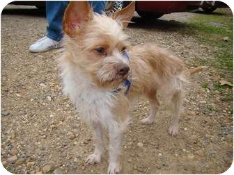 found   wire haired terrier adopted dog haughton la