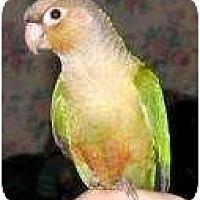 Adopt A Pet :: CINNAMON - Mantua, OH