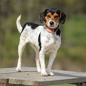 Beagle Mix Dog for adoption in Wood Dale, Illinois - Bobby