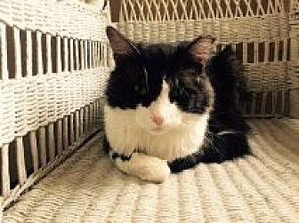 Domestic Mediumhair Cat for adoption in Delmont, Pennsylvania - Pookie