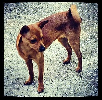 Chihuahua Mix Dog for adoption in Grand Bay, Alabama - Chanel