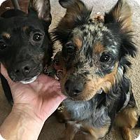 Adopt A Pet :: Sadie - Acushnet, MA