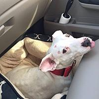 Adopt A Pet :: Cindy Lou Who! - Albuquerque, NM