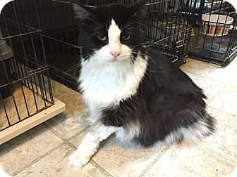 Domestic Shorthair Cat for adoption in East Stroudsburg, Pennsylvania - Walle