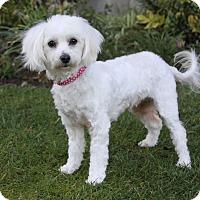 Adopt A Pet :: CELINE - Newport Beach, CA