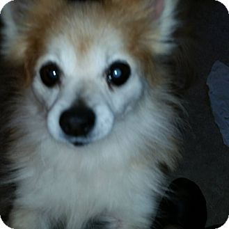 Pomeranian Mix Dog for adoption in Aurora, Illinois - Susie