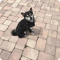 Adopt A Pet :: BABY (DG) - Tampa, FL