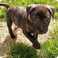 Pit Bull Terrier/Shepherd (Unknown Type) Mix Puppy for adoption in Wyoming, Michigan - Rubble