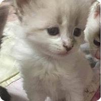 Adopt A Pet :: Cici - Springdale, AR