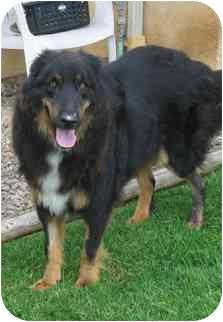 Collie/Retriever (Unknown Type) Mix Dog for adoption in San Diego, California - Wolfie
