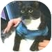 Domestic Shorthair Cat for adoption in Vancouver, British Columbia - Clara L.