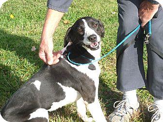 Labrador Retriever Mix Dog for adoption in Zanesville, Ohio - # 336-12 @ Animal Shelter