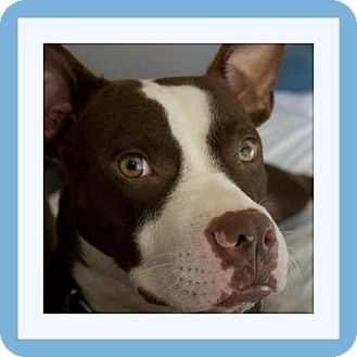 American Pit Bull Terrier Mix Dog for adoption in hollywood, Florida - Newman