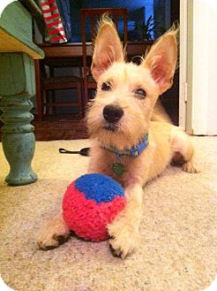 Schnauzer (Miniature) Mix Puppy for adoption in Baton Rouge, Louisiana - Biscuit