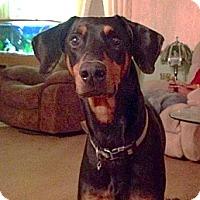 Adopt A Pet :: Shadow - Moulton, AL
