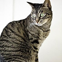 Domestic Shorthair Cat for adoption in Midway City, California - Poppy