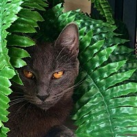 Domestic Shorthair Cat for adoption in Tracy, California - Teemo