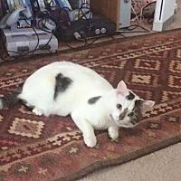 Domestic Shorthair Cat for adoption in Garwood, New Jersey - Juniper
