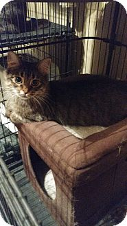 Domestic Shorthair Cat for adoption in Morris, Illinois - SALEM