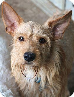 Irish Terrier Mix Dog for adoption in Woonsocket, Rhode Island - Wally..meet me