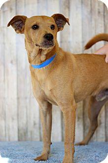 Feist Mix Dog for adoption in Waldorf, Maryland - Kaden