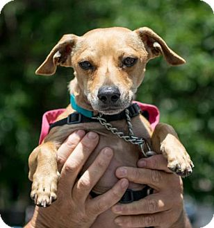 Chihuahua/Dachshund Mix Dog for adoption in Westerly, Rhode Island - Sky Chiweenie