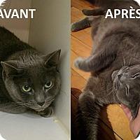 Adopt A Pet :: HAVA - THORNHILL, ON