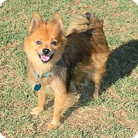 Adopt A Pet :: Zima - Umatilla, FL