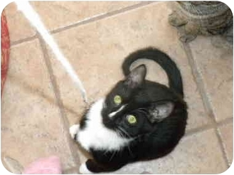 Domestic Shorthair Cat for adoption in Putnam Valley, New York - Andy