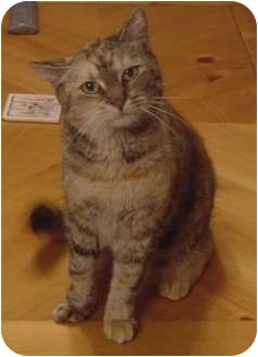 Domestic Shorthair Cat for adoption in Franklin, North Carolina - Ginger