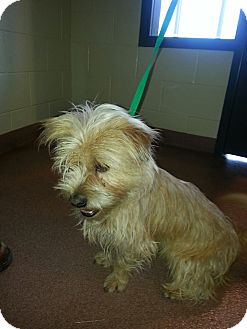 Cairn Terrier/Terrier (Unknown Type, Medium) Mix Dog for adoption in Ogden, Utah - Buster