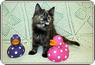 Domestic Mediumhair Kitten for adoption in Orlando, Florida - Avril