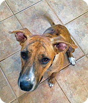 Greyhound Mix Dog for adoption in Manhasset, New York - Eilla